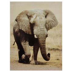 Sepia tones add vintage styling to the Oriental Furniture Walking Elephant Canvas Wall Art . This earthy photo print features a stately elephant to bring. Elephant Canvas, Elephant Love, Elephant Trunk, Elephant Sketch, Elephant Facts, Elephant Stuff, Elephant Illustration, Elephant Theme, Baby Animals