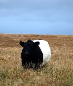 black and white.  OMG! OMG! OMG!   It lookes like a FLUFFY BELTED GALLOWAY!   I LOVE belted galloways!  Wish I could get a side view!!