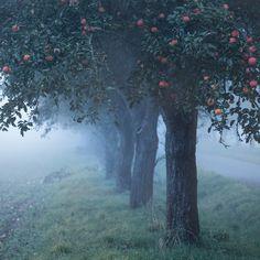 """wanderthewood: """"Apple tree in the fog - Czech Republic by d o l f i """""""