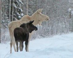 A white moose and her calf near Delta Junction and our Fort Greely, Alaska.