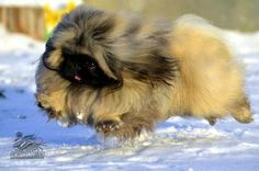 I can fly! Yorkies, Pekingese Puppies, Animals And Pets, Baby Animals, Cute Animals, Fu Dog, Dog Cat, Cool Pets, Cute Dogs