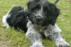 ♥RDS♥ 207  Schapendoes Puppy