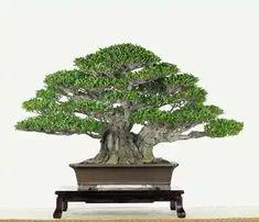 Ficus microcarpa by Wen-Chin Chang Ficus Bonsai Tree, Ficus Microcarpa, Bonsai Styles, Love Photos, Fountain, Succulents, Herbs, Gardening, Outdoor Decor