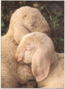 Lamb cuddle!