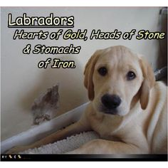 Labs are...
