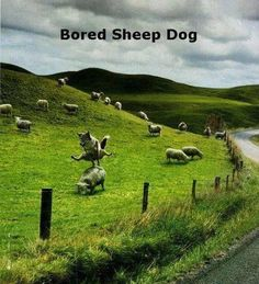 Very bored sheep herding dog...
