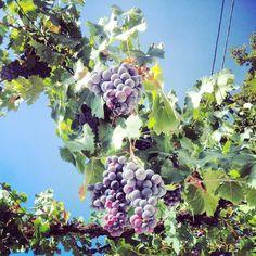 Maria Vittoria Ceschi 2013 - Grapes