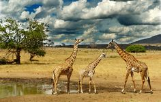 Giraffen-Parade. #Kenia #Safari
