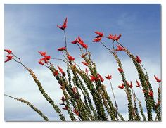 Octillos are common plants in Arizona.  This is a plant that can thrive in the dry desert climate.