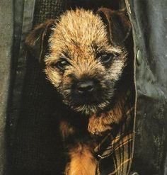'Scruffy dog' ~ Perfect little Border Terrier