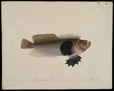 Trachicephalus uranoscopus (Bloch & Schneider, 1801)