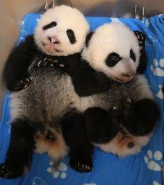 Panda Cubs Born at Toronto Zoo Named 'Canadian Hope' and 'Canadian Joy' - NewsWinnipeg. Niedlicher Panda, Panda Love, Love Bear, Cute Panda, Panda Funny, Baby Zoo, Animals And Pets, Baby Animals, Cute Animals