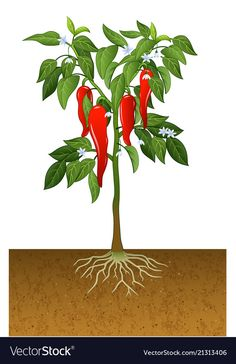 Chili pepper plant vector image on VectorStock Tomato Cultivation, Chili, Garden Mural, Pepper Plants, Plant Vector, Tree Illustration, Plant Art, Plant Growth, Fruit Art