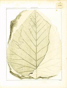 1874 Feuille fossile d' Aralia. Laurier. Pl. 16. Gravure originale ancienne. Botanique. Paléontologie fin 19ème. Crétacé de la boutique sofrenchvintage sur Etsy