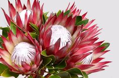 Red protea flower bunch on a white isola.