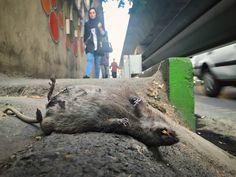 . موش مردگی! . . . . . . . . . . . . . . . .#mouse #deadmouse #photoshoot #photographylife #worldanimalprotection #animalprotection #savetheworld #animals ##sadr #صدر #اتوبان_صدر #موش #موش_مردگی #موش #موش_مرده