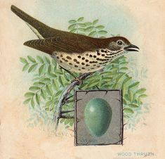 I was so thrilled to find this at a recent yard sale and I couldn't wait to share it with all of you! This is an old Victorian advertising card that features a fabulous bird (Wood Thrush) with a wonderful blue egg!! A wonderful piece for your bird themed collage projects.
