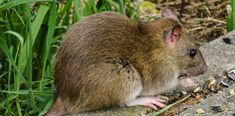 Rats are nuisance pests that cause damage to property and transmit diseases to human. You can get rid of these creatures by hiring the services of pest control companies. Natural Rat Repellent, Getting Rid Of Rats, Rat Control, Sunflower Images, Household Pests, Timber Deck, Year Of The Rat, Going Natural, Garden Pests
