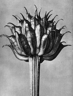 Karl Blossfeldt Photogravures  Trollius Ledebourii, Globeflower, fruit