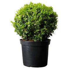 BUXUS SEMPERVIRENS Rostliny - IKEA