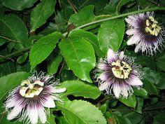 passiflora edulis - Pesquisa do Google