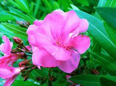 Flowering Pink Tree - Okinawa, Japan