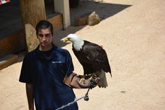 Bald eagle - Six Flags