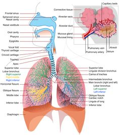 Physiology of the respiratory system: Pulmonary Ventilation, External Respiration, Internal Respiration, Transportation of Gases, Homeostatic Control of Respiration Respiratory System Anatomy, Respiratory Therapy, Lung Anatomy, Medical Anatomy, Body Anatomy, Eye Anatomy, Muscle Anatomy, Anatomy Study, Medical Coding