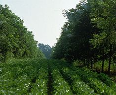 Alley Cropping | Association for Temperate Agroforestry
