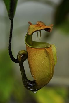 FANG PITCHER Nepenthes ~ bicalcarata (láčkovka dvojostruhatá) WoW: This photo may or may not be real. Weird Plants, Unusual Plants, Rare Plants, Exotic Plants, Strange Flowers, Unusual Flowers, Rare Flowers, Amazing Flowers, Bog Plants