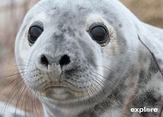 Live Gray Seal Pup Webcam