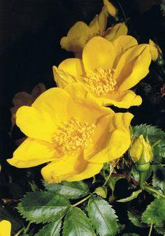 Rose de Nax - Valais.  http://www.oberson-alpage.ch