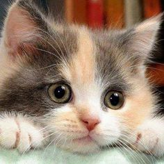 Kittens And Puppies, Cute Cats And Kittens, Baby Cats, Kittens Cutest, Ragdoll Kittens, Funny Kittens, Bengal Cats, White Kittens, Pics Of Kittens