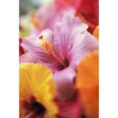 Hibiscus Flower Arrangement With Soft Focus Close-Up Detail Subtle Colors Canvas Art - Kyle Rothenborg Design Pics (11 x 17)