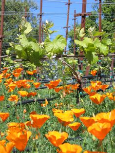 Poppies and Vines! So California!