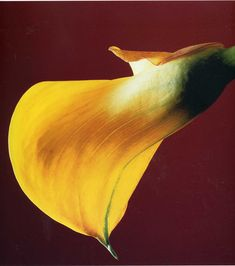 Robert Mapplethorpe Flowers | Robert Mapplethorpe and his flower art photography