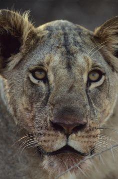 ✭ African Lion - Up Close