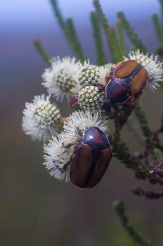 Cape Protea Beetles (Trichostetha capensis) don't just feed on proteas, here they can be seen tucking into Berzelia abrotanoides flowers Tortoises, Flora And Fauna, Beetles, Mammals, Cape, Insects, Africa, Flowers, Turtles
