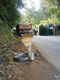 .WOW! IF I didn't see a photo I almost wouldn't believe it ! Amazing g! Hope someone caught it for a snake zoo