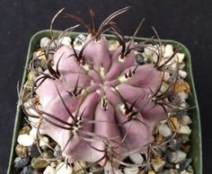 Neoporteria Bicolor Eriosyce islayensis CACTUS CACTI SUCCULENT REAL LIVE PLANT