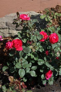 'Winnipeg Parks'  Shrub rose. Henry H. Marshall (Canada, 1981).