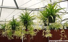 Spider Plants: Easy Care and Durable As Can Be. Lots of babies - new plants in the making!