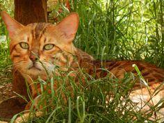 Bengal cat: bengal cat