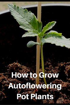 How to Grow Autoflowering Pot Plants  http://thehempoilbenefits.com