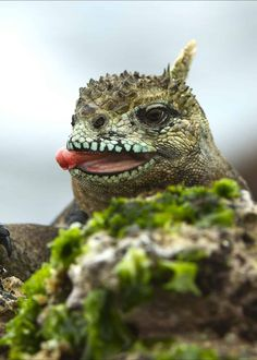 Planning a trip to the Galapagos? Here are 17 amazing Galapagos Islands animals to watch for on your next trip! This travelers guide to the animals of the Galapagos will whet your appetite for adventure. South America Animals, South America Map, America City, Galapagos Islands Ecuador, Peru Ecuador, Thailand Travel, Croatia Travel, Bangkok Thailand, Hawaii Travel