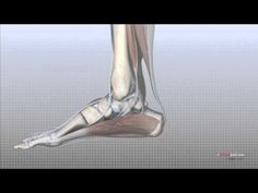 In this episode of eOrthopodTV, orthopaedic surgeon Randale C. Sechrest, MD narrates an animated tutorial of the anatomy of the foot.