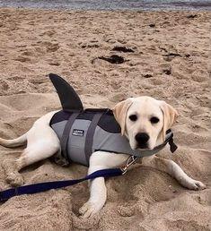 Labrador Retrievers, Happy Dogs, Pup, Coastal, Therapy, Yellow, Beach, Sweet, Summer