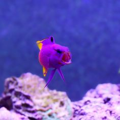 RAWR. Got a fish doing the roar? Post them up. Thanks to vividcgd for this picture #marinedepot #happyreefkeeping #fish #royalgramma