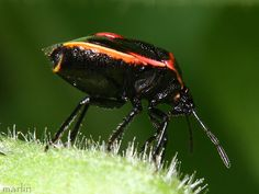 Stink Bug - Cosmopepla lintneriana