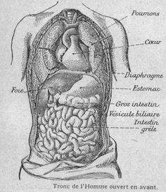 Organes du tronc de l Homme